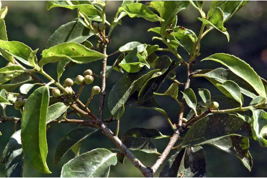http://www.biotik.org/india/species/s/sympcola/sympcola_12.jpg