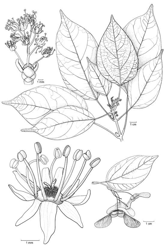 Botanical Flower Line Drawing : Flower drawings related keywords long
