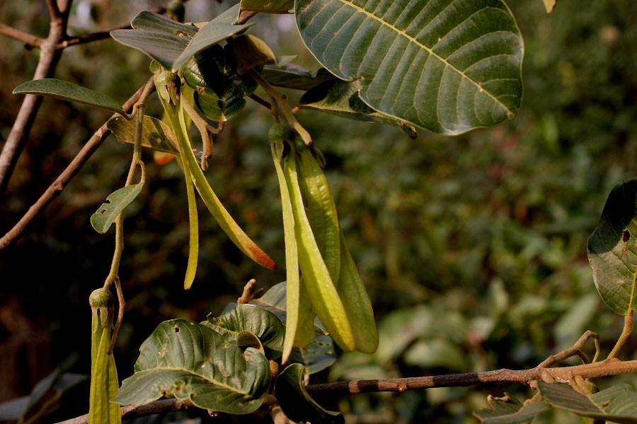 ผลการค้นหารูปภาพสำหรับ Anisoptera costata