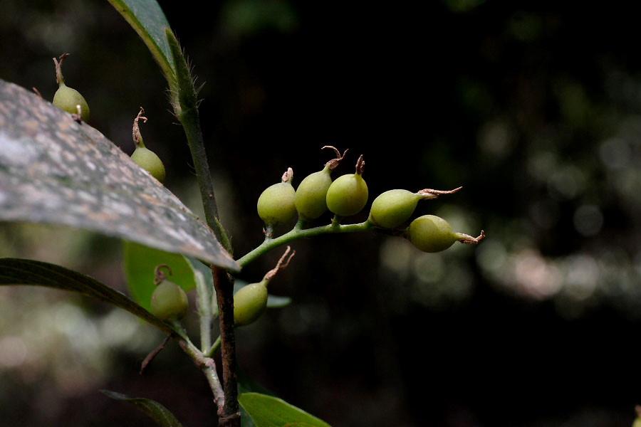 http://www.biotik.org/laos/species/g/girsu/girsu_04.jpg