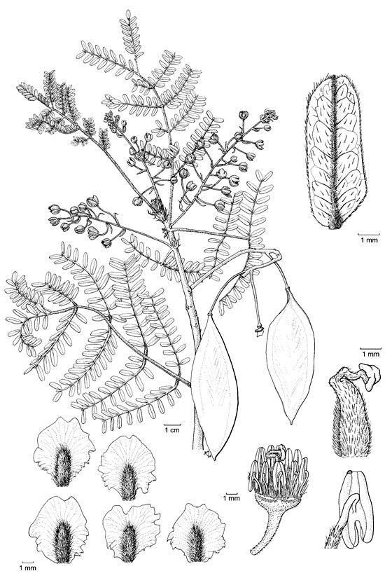 Botanical line drawingPeltophorum dasyrhachis - CAESALPINIACEAE ...